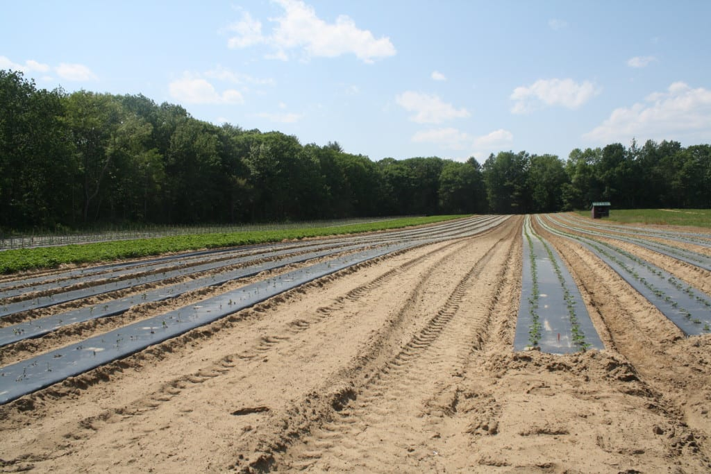 Small sweet potato plants and larger tomato plants in the background.